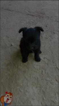 Toypom Female Puppy