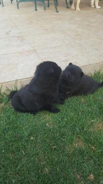 Pedigree chow puppies