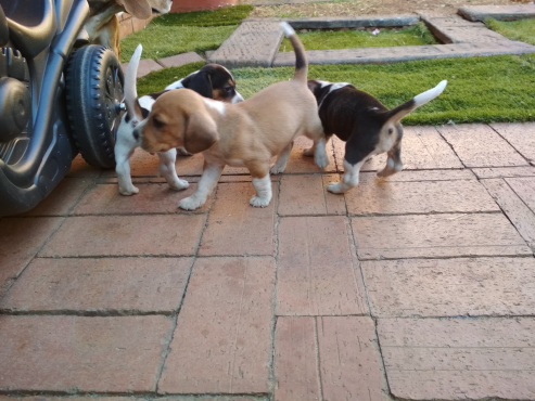 Jackbe Puppies for sale
