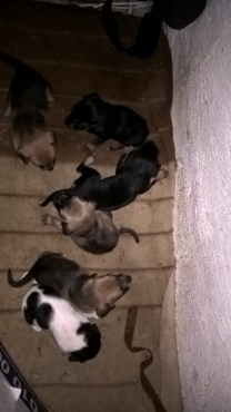 German Shephard x Daschund Puppies For Sale