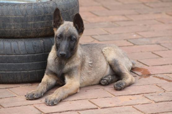 Belgian Shepherd Malinois puppy for sale