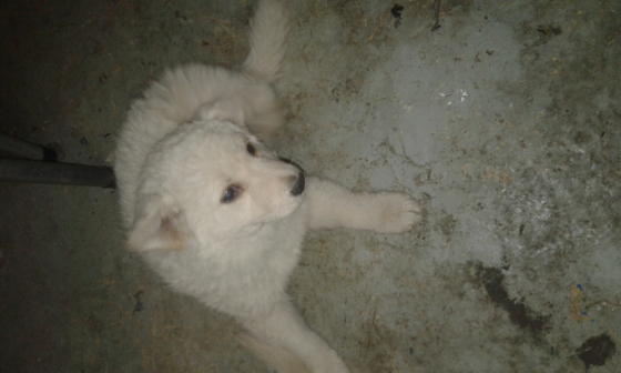 white.german shepherd .puppy for.sale