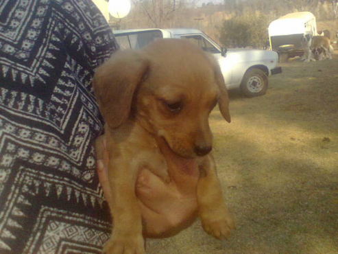 Miniature Dachshund puppy