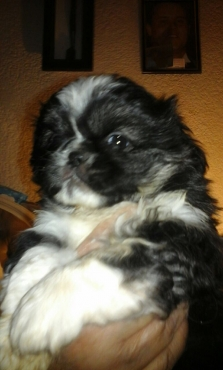 Pekenese puppies for sale