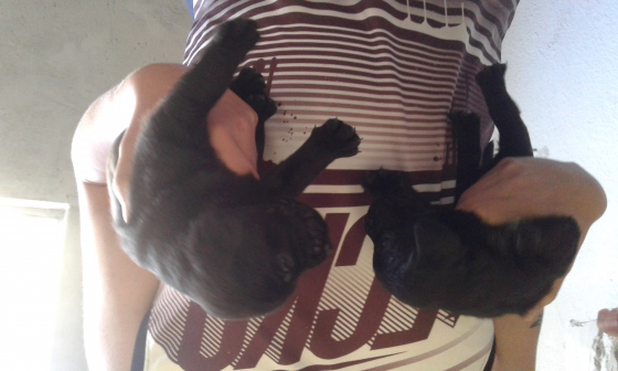 Pure Labrador puppies for sale