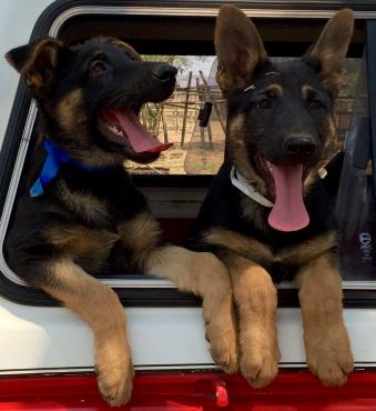 German Shepherd Dog (GSD/ Alsatian) Puppies for sale