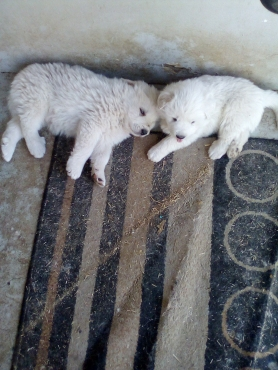 Great Pyrenees mountain puppies