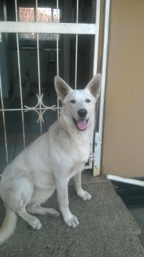 WHITE SWISS SHEPHERD PUPPY FOR SALE