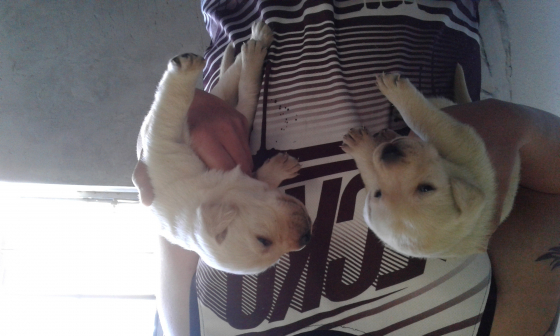 Pure Labrador puppies for sale
