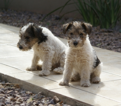 WIRE HAIRED FOXTERRIER PUPPIES | Junk Mail