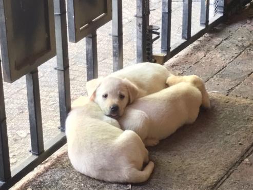 Labrador reuntjies