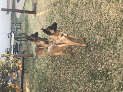 Belgian Malanois puppies Pure bred Belgian Malanois puppies for sale   Our Malanois make excellent g