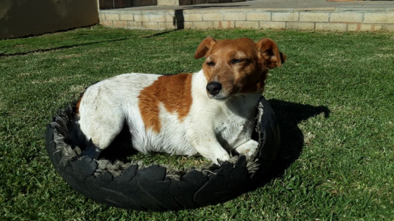 MISSING!!!  Female Jack Russel - Furgeson Area - Reward R2000.00