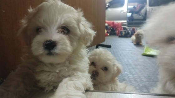 Miniature Maltese Poodles