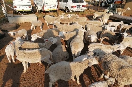 Dorper sheep for sale