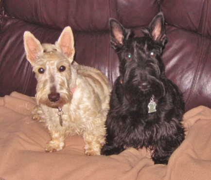 Pure Bred Scottish Terrier Puppies
