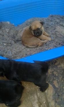 Chow x Mastiff Pupps