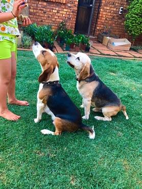 Beagle Puppies (tri-color)