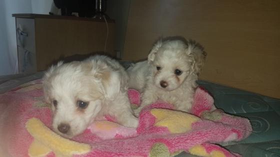Mini Maltese Female Puppies