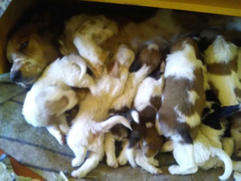 Basset puppies for sale | Junk Mail