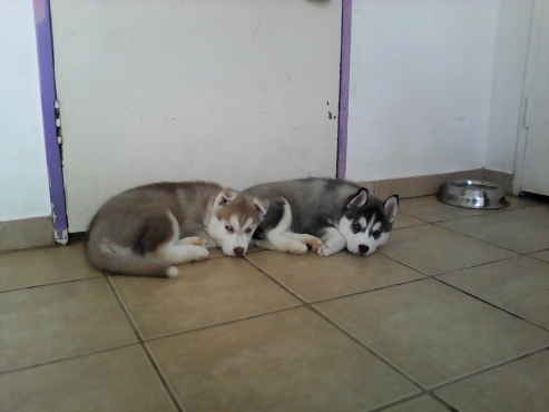 Pedigree husky pups