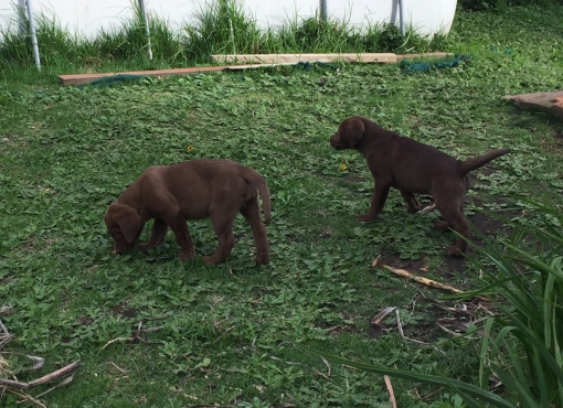 Registered Labrador puppies for sale.