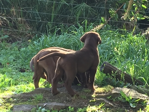 Registered Labrador puppies for sale