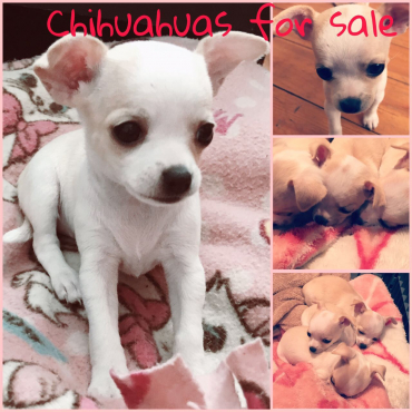 Chihuahua puppies pure breed