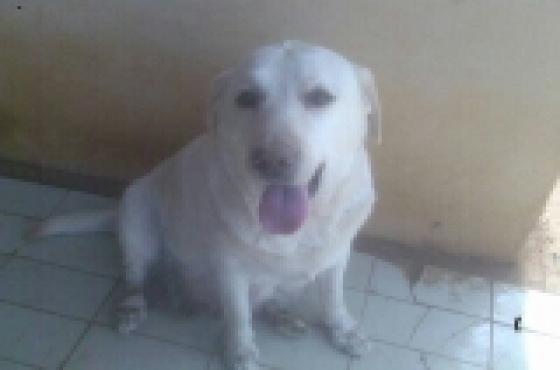 KUSA REG LABRADOR black male pup