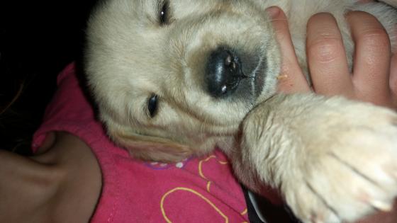 Golden Retriever / Labrador puppies for sale