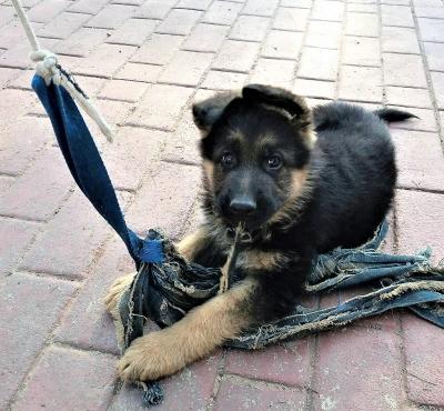 German Sheperd Pups Registered