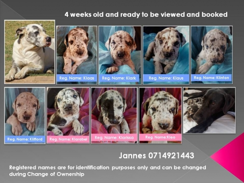 Great Dane Puppies Registered