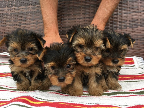 TEACUP Yorkshire Terrier males and females~POCKET TEDDY BEAR ~4 mo @ 2lb
