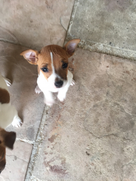 Jack Russell Pure Bred Pups Short Leg and Short Hair