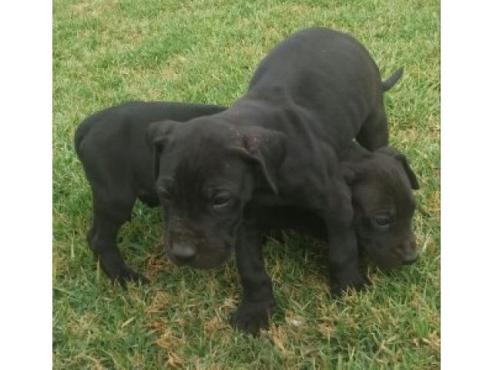 Great dane puppies te koop