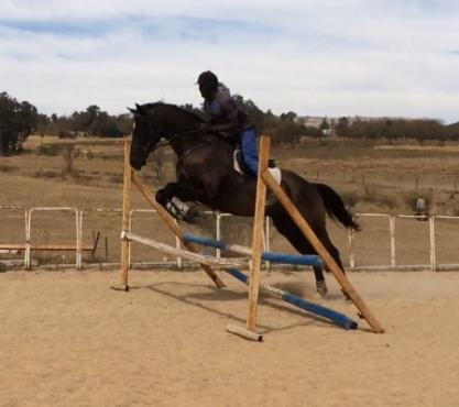 Stunning black gelding