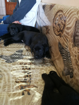 Pure bred Black Labrador puppies for Sale