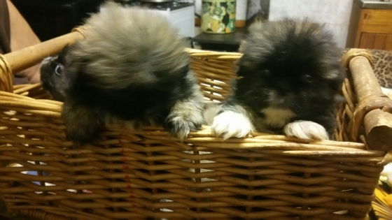Pikengese puppies