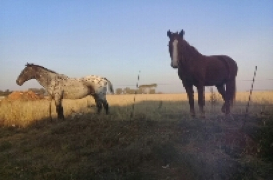2 horses for sale.