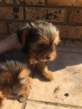 Two male Yorkies for sale