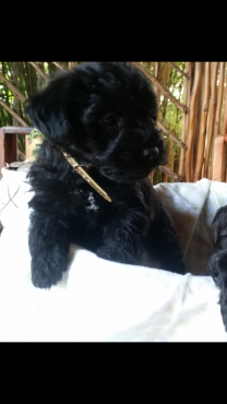 Toy french poodle
