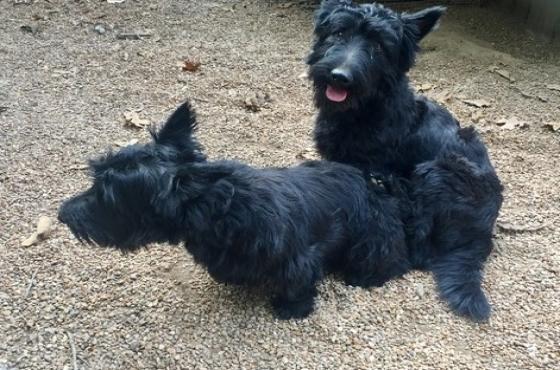 Scottish Terrier Puppies - 3Left