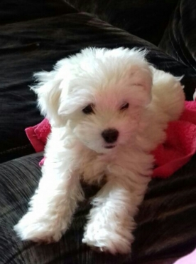 Maltese poodle