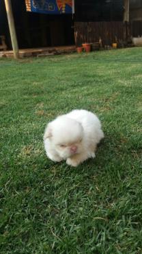 pekingese puppie