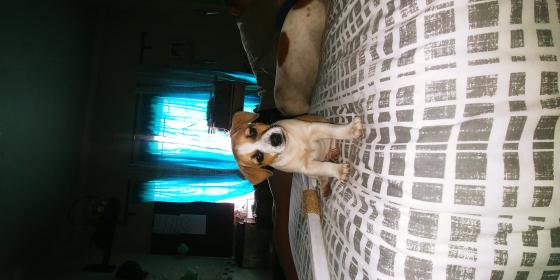 Jack russel puppy for sale.