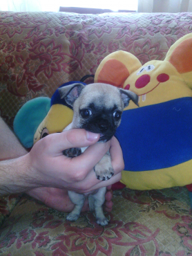 Male Chihuahua Puppy For Sale