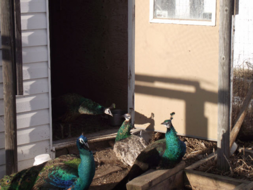 Peahens and Peacocks for sale