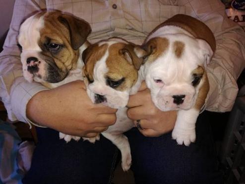 Beautiful KUSA Reg English Bulldog puppies available and ready to go!