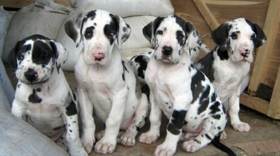 Family Raised Great Dane Puppies