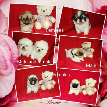 Miniature and sleeve pekingese puppies
